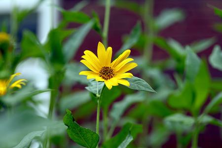 medallion: Medallion flower