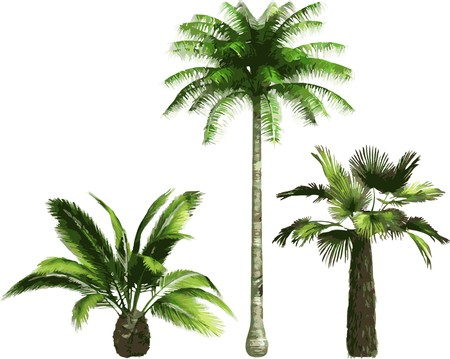 palm tree isolated: color Palms