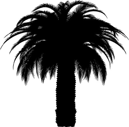 pine tree isolated: Tree