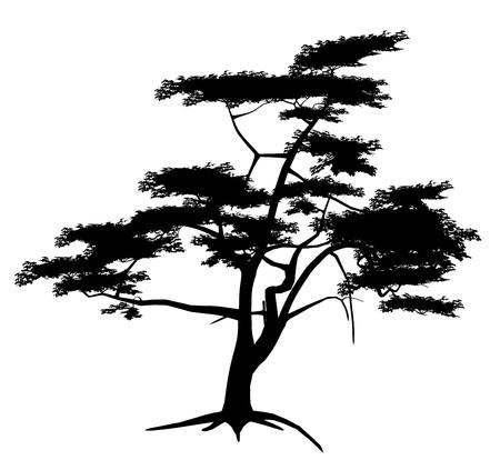 pine tree: Tree