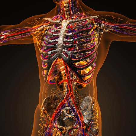 heart bypass: Human circulation cardiovascular system with bones in transparent body