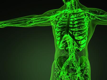 Sistema cardiovascular circulación humano con los huesos en el cuerpo transparente Foto de archivo