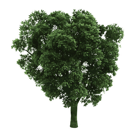 isolated tree: realistic vector tree isolated