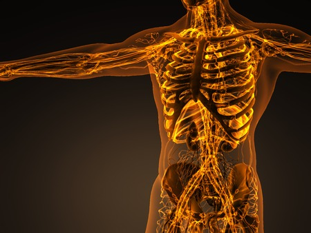 Human circulation cardiovascular system with bones in transparent body