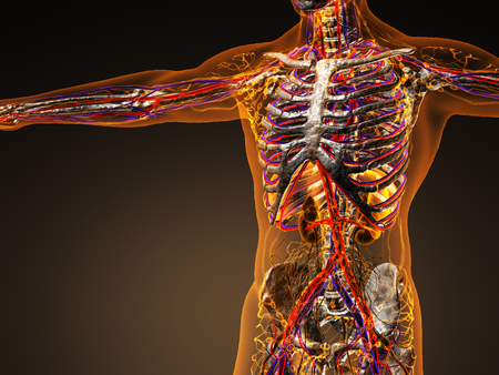 myocardial: Human circulation cardiovascular system with bones in transparent body