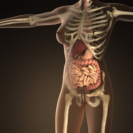 ileum: Anatomy of human organs with bones in transparent body