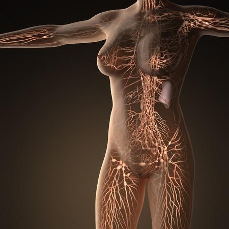 Système limphatic humain avec des os dans le corps transparent Banque d'images - 54007029