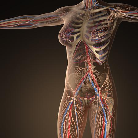 Sistema cardiovascular circulación humano con los huesos en el cuerpo transparente