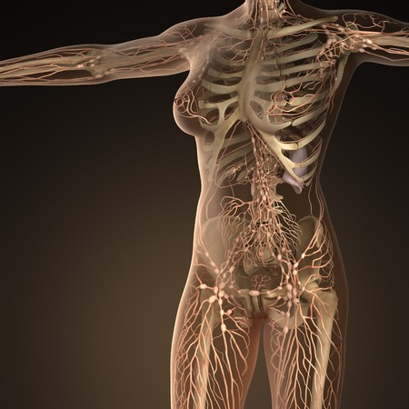 lymph vessels: Human limphatic system with bones in transparent body