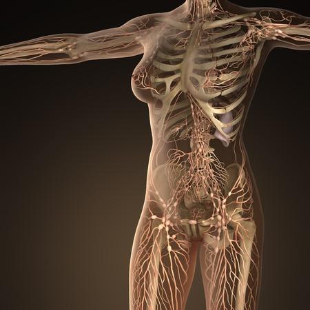 Sistema linfatico umano con le ossa nel corpo trasparente Archivio Fotografico - 54007031