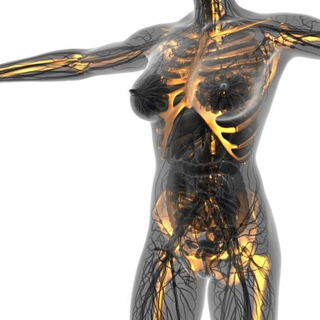 xray: science anatomy of human body in x-ray with glow skeleton bones Stock Photo
