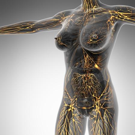 Sistema Linfático humano con los huesos en el cuerpo transparente Foto de archivo