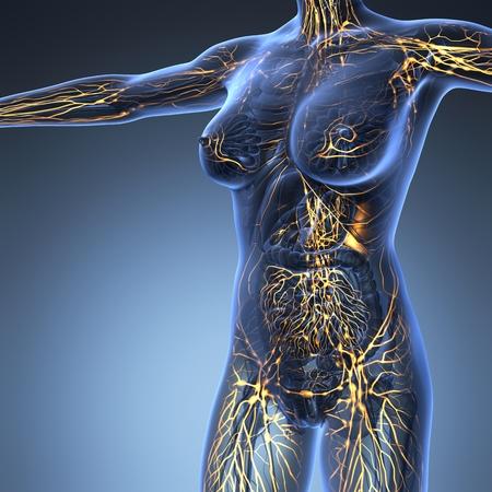Sistema Linfático humano con los huesos en el cuerpo transparente