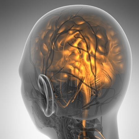 olfactory: science anatomy of human brain in x-ray
