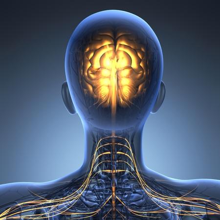 hipofisis: anatom�a ciencia de cerebro humano en rayos x