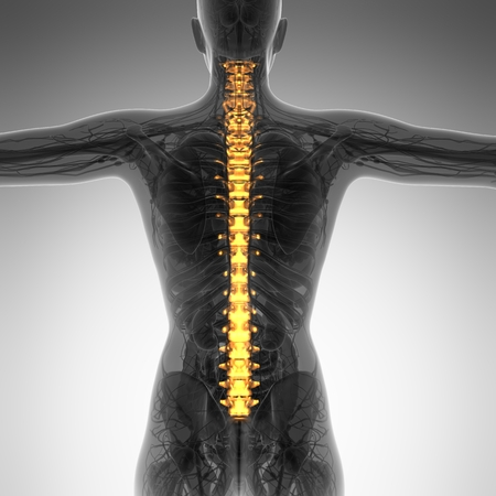 the vertebral spine: Human backache and back pain with an upper torso body skeleton showing the spine and vertebral column