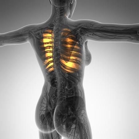 alveolos: anatom�a ciencia del cuerpo de la mujer con los pulmones resplandor
