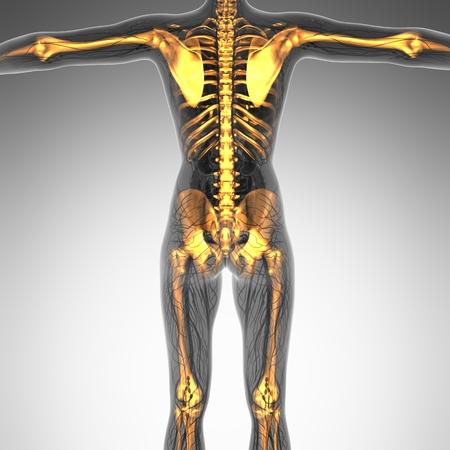 skeletons: science anatomy of human body in x-ray with glow skeleton bones Stock Photo