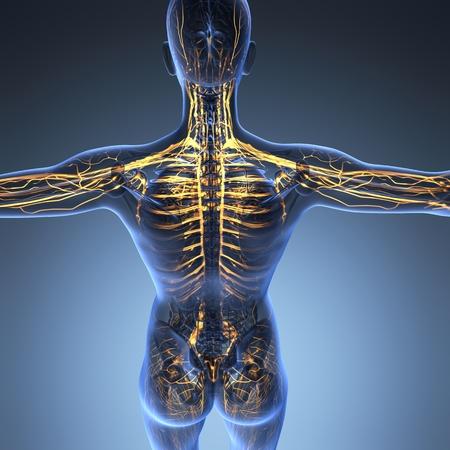 vasos sanguineos: anatom�a ciencia del cuerpo humano en rayos X con los vasos sangu�neos resplandor