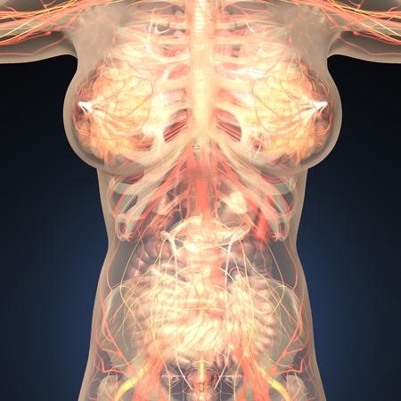 Anatomía de órganos humanos con los huesos en el cuerpo transparente