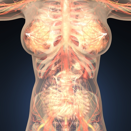 appendix: Anatomy of human organs with bones in transparent body