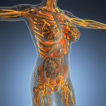 human vein  heartbeat: science anatomy of human body in x-ray with glow blood vessels Stock Photo