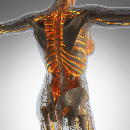 atrium: science anatomy of human body in x-ray with glow blood vessels Stock Photo