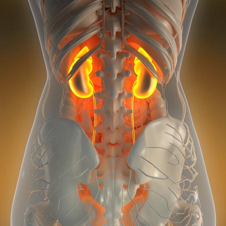 uretra: anatomía ciencia del cuerpo humano en rayos X con los riñones resplandor