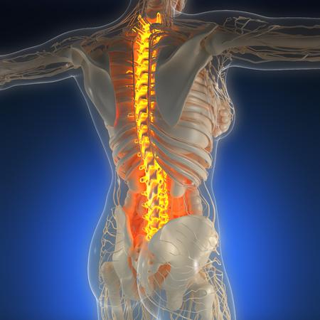 backache: science anatomy of human body in x-ray with glow back bones
