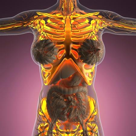 backache: science anatomy of human body in x-ray with glow skeleton bones Stock Photo