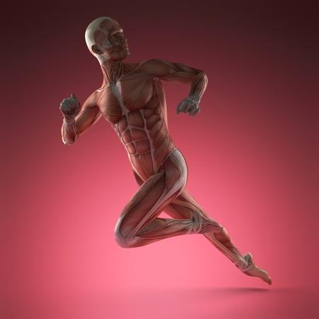 Human Muscle Anatomy
