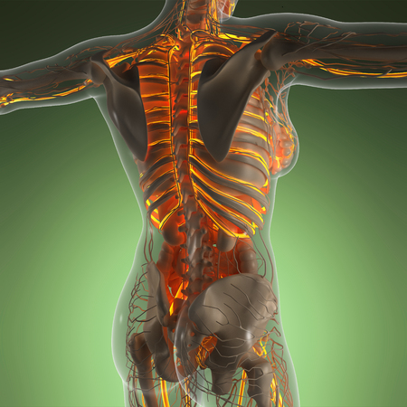 myocardial: science anatomy of human body in x-ray with glow blood vessels Stock Photo