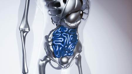 medical science of human intestine model with all organs and bones