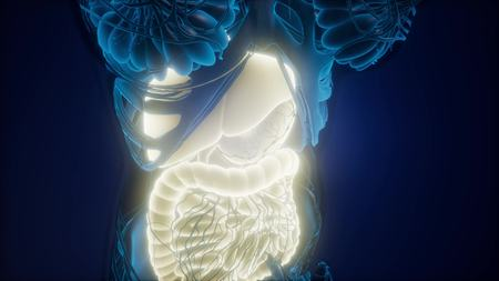 science anatomy scan of human body with visible digestive system Stock Photo