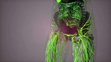 science anatomy of human body in x-ray with glow blood vessels Standard-Bild