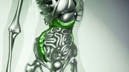 medical science of human colon model with all organs and bones Stock Photo