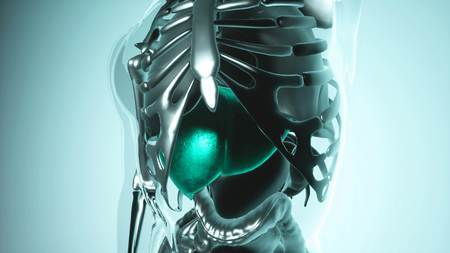 medical science of human liver model with all organs and bones