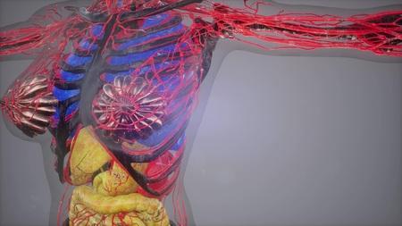 human body model illustration