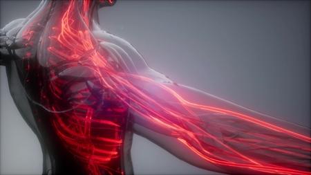 scansione di anatomia scientifica dei vasi sanguigni umani