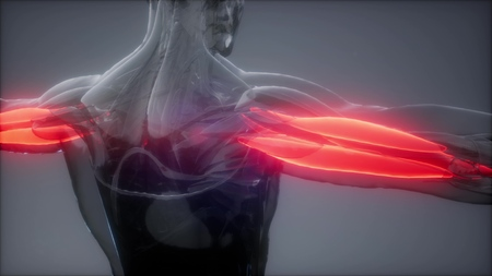 triceps - Visible muscle anatomy map Stock Photo