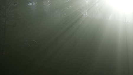 coniferous forest backlit by the rising sun on a misty fog