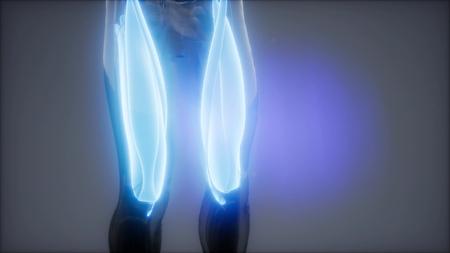 Oberschenkelmuskulatur - Sichtbare Muskelanatomiekarte