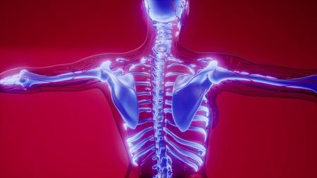 medical science illustration of human skeleton bones Stock Illustration - 122715636