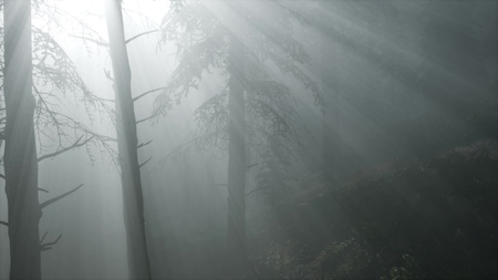 misty spring morning in pine tree forest in Southern Finland 写真素材