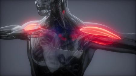 Deltamuskel - Karte der sichtbaren Muskelanatomie Standard-Bild