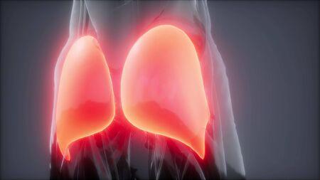 gluteus maximus - leg muscles anatomy animation