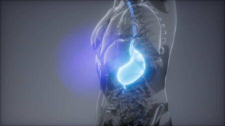 science anatomy scan of human stomach glowing Standard-Bild - 129104789