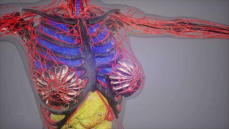 human anatomy illustration with all organs