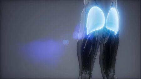 gluteus maximus - leg muscles anatomy animation Stock Photo - 129105885