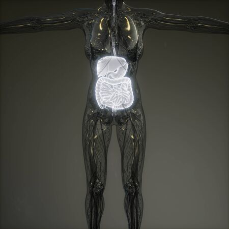 3d illustration of human digestive system parts and functions